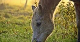 Anweiden Pony